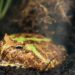 Bubba Gump the Pacman Frog