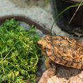 Griddle the Pancake Tortoise