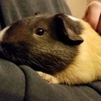 Bumblebee the Guinea Pig