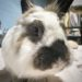 Abigail Adams the Bunny