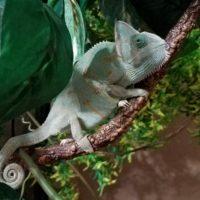 Naomi the Chameleon