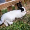 Michelle Obama the Bunny