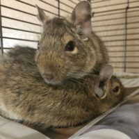Jack and Sparrow the Degus