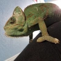 Sebastian the Veiled Chameleon