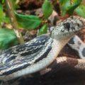 Gravel the Pine Snake