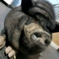 Bentley the Pot Belly Pig