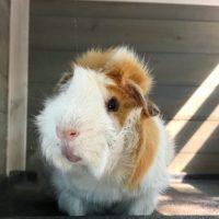 Pocky the Guinea Pig
