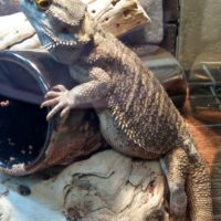 Charizard the Bearded Dragon