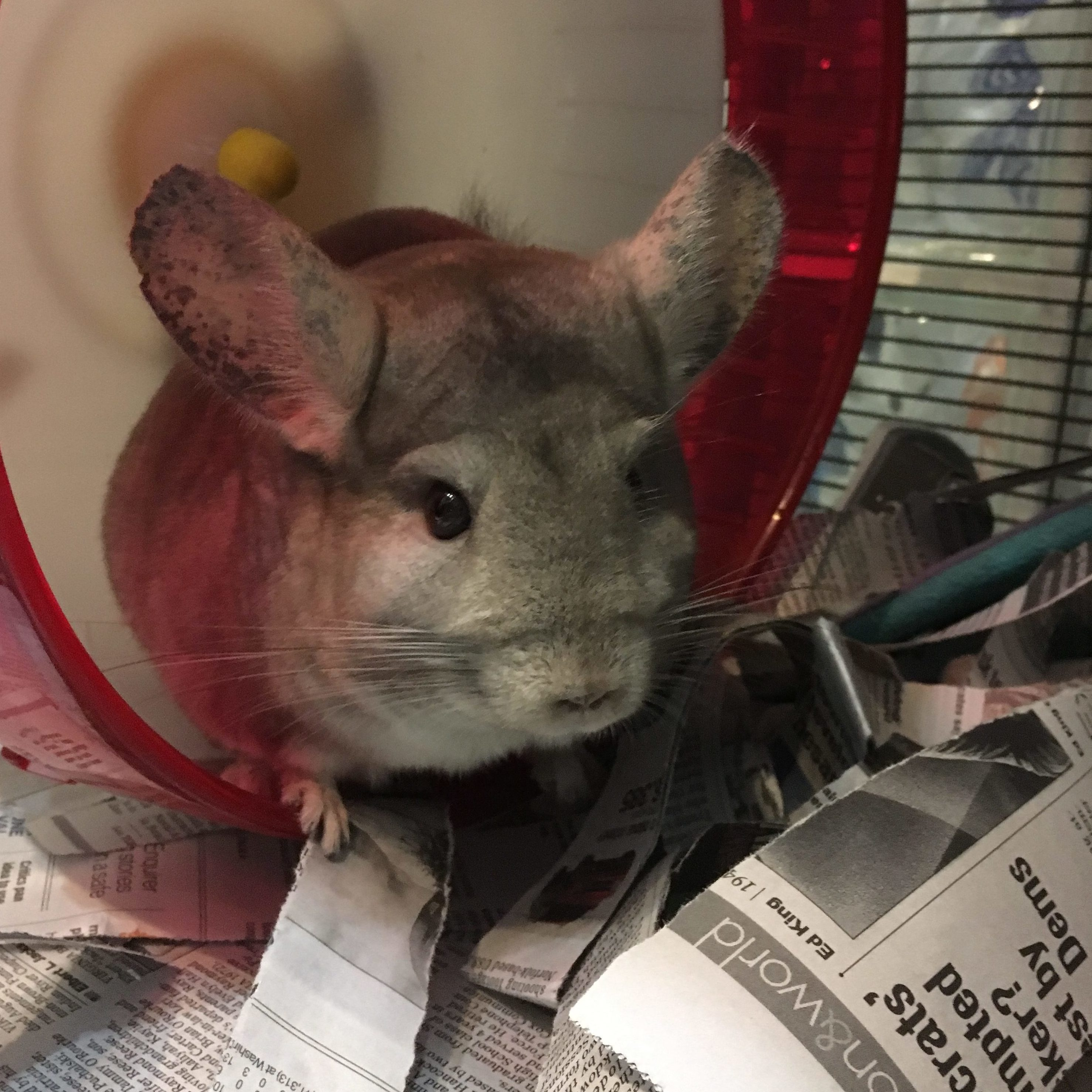 Storm and Aria the Chinchillas