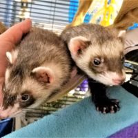 Brandon and Gloria the Ferrets