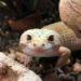 Rocket and Sugar the Leopard Geckos