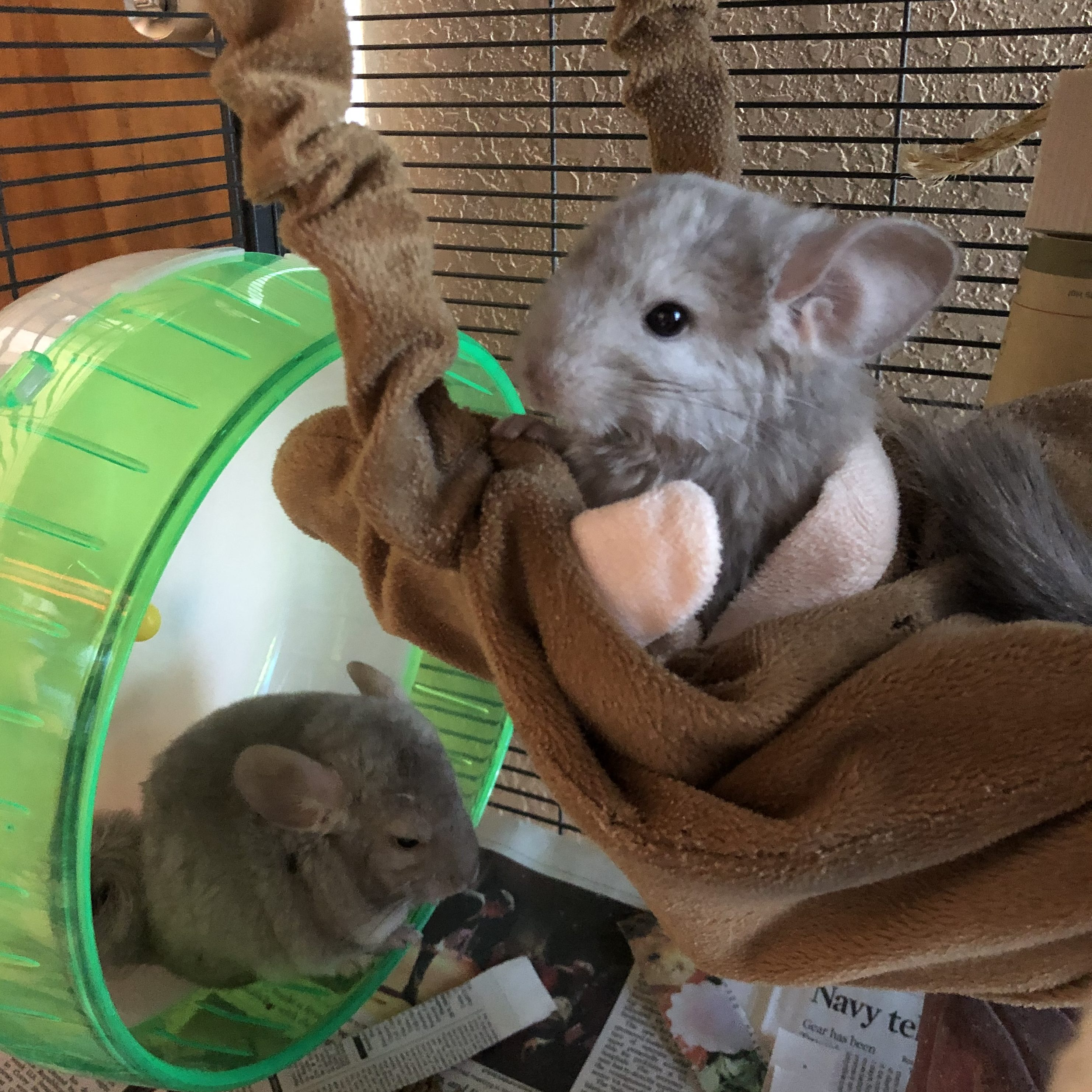 Baby Chinchilla Brothers