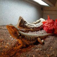 Mushu the Bearded Dragon